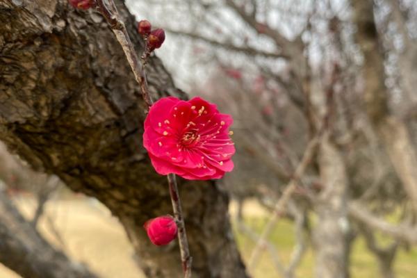 梅が咲き始める季節ですね イメージ